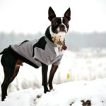 How to Measure Your Boston Terrier for Clothing
